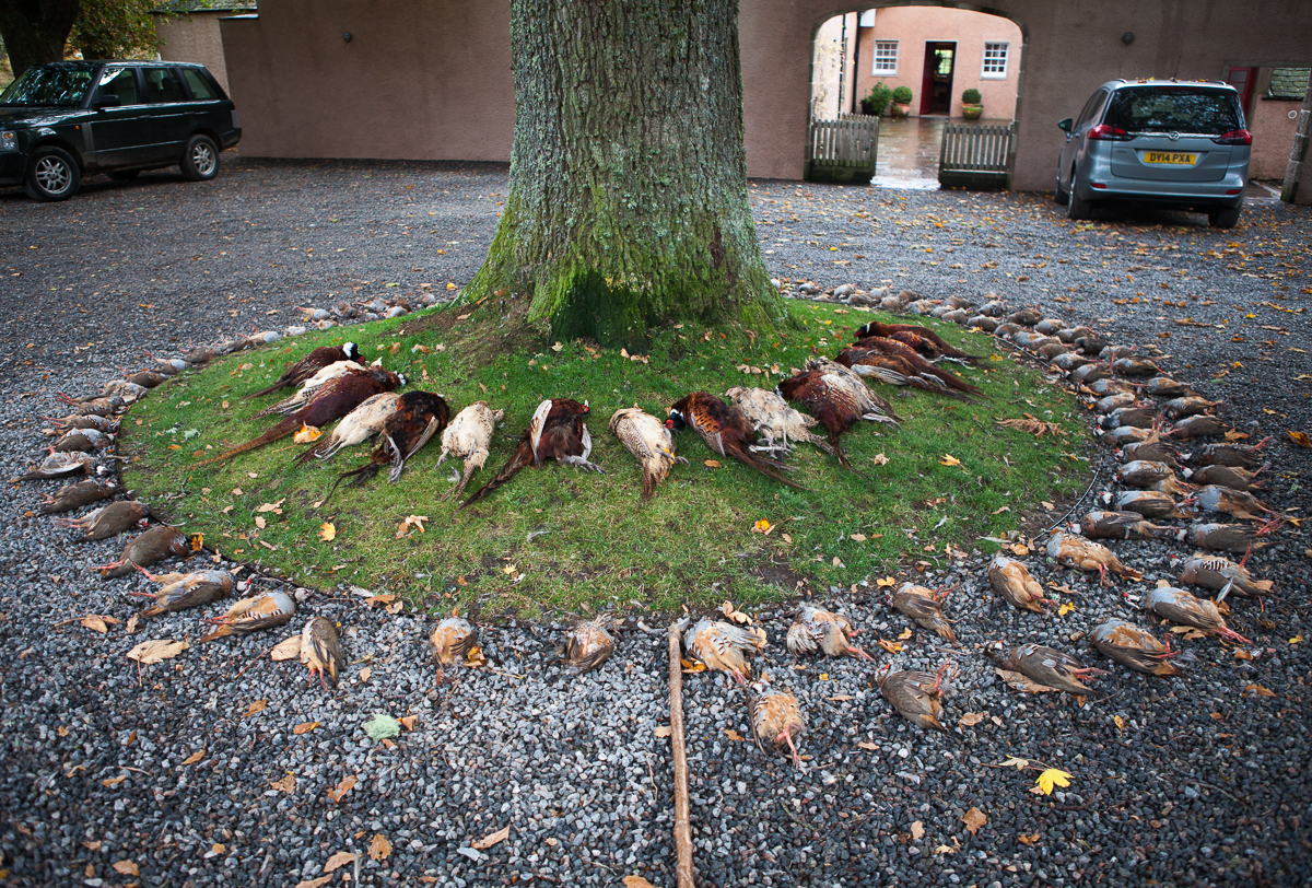Pheasant Presentation Around Tree